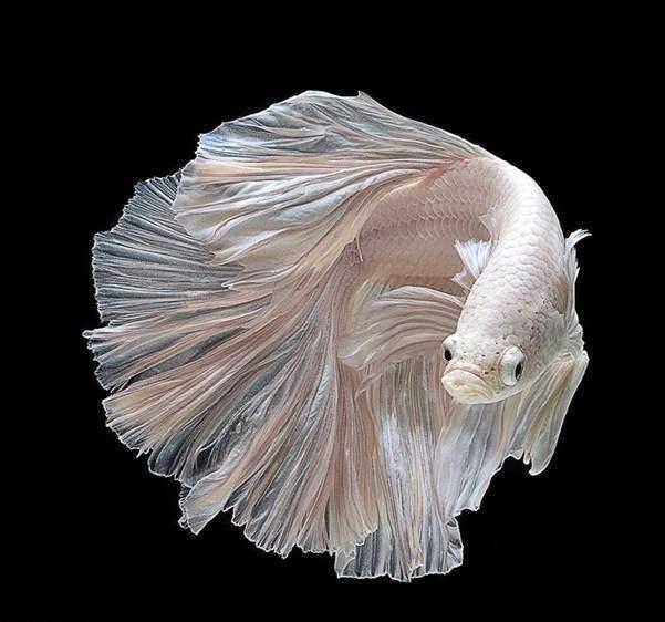 صور رائعة للسمك السيامي القتّال 2018 475584124.jpg