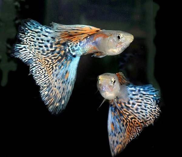 صور رائعة للسمك السيامي القتّال 2018 782103287.jpg