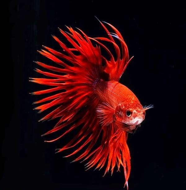 صور رائعة للسمك السيامي القتّال 2018 841616111.jpg