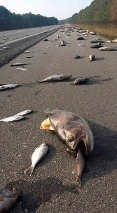 Thousands of Dead Fish Cover North Carolina Roads After Floodwaters Recede
