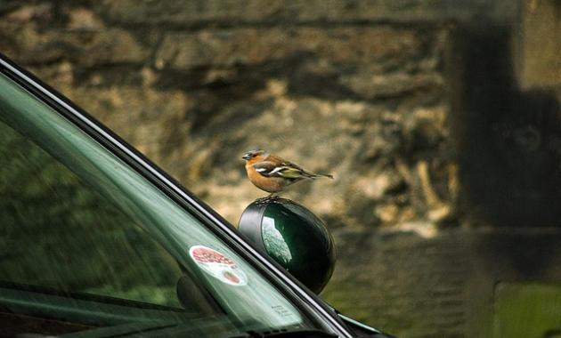 الطريقة الصحيحة لتنظيف فضلات الطيور عن سيارتك